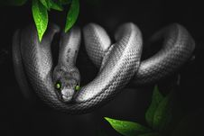 Free Serpent, Reptile, Snake, Scaled Reptile Royalty Free Stock Images - 114791379