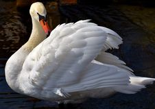 Free Swan, Bird, Water Bird, Ducks Geese And Swans Stock Photography - 114791392