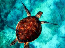Free Sea Turtle, Turtle, Marine Biology, Loggerhead Royalty Free Stock Photos - 114791398