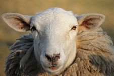 Free Sheep, Cow Goat Family, Horn, Snout Stock Photography - 114791492
