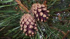 Free Conifer Cone, Pine Nut, Pine Family, Plant Royalty Free Stock Image - 114791776