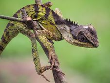 Free Reptile, Lizard, Scaled Reptile, Iguania Stock Photos - 114791833