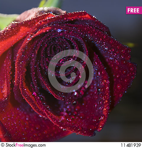 Free Red Rose With Blue Water Drops Royalty Free Stock Images - 11481939