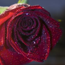 Red Rose With Blue Water Drops Royalty Free Stock Images