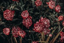 Free Photo Of Red Peonies Painting Royalty Free Stock Images - 114825589