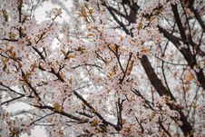 Free Close-Up Photography Of Cherry Blossom Stock Images - 114825604