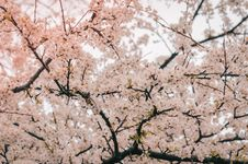 Free Photography Of Cherry Blossom Royalty Free Stock Images - 114825609