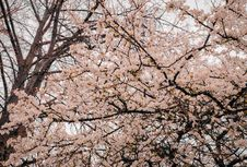 Free Photography Of Cherry Blossoms Stock Images - 114825614