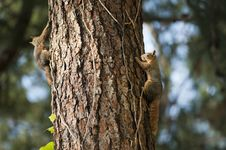 Free Two Squirrels On Tree Trunk Royalty Free Stock Images - 114825659