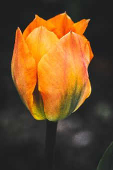 Free Selective Focus Photography Of Orange Tulip Flower Royalty Free Stock Photography - 114825667