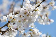 Free White Cherry Blossom Tree Stock Image - 114825671