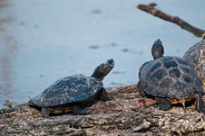 Free Close-Up Photography Of Turtles Royalty Free Stock Photography - 114825737