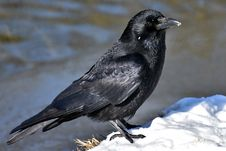 Free Bird, American Crow, Crow Like Bird, Fauna Royalty Free Stock Image - 114866736