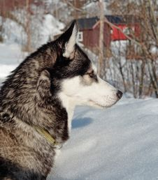 Free Siberian Husky, Dog Like Mammal, Dog, Sakhalin Husky Stock Photos - 114866903