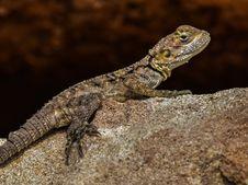 Free Reptile, Lizard, Scaled Reptile, Fauna Stock Photography - 114867002