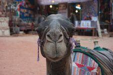 Free Camel, Camel Like Mammal, Temple, Arabian Camel Stock Photo - 114867100
