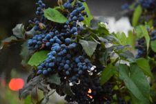 Free Blue Berries Stock Photo - 114892330