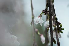 Free White Tree Blossoms With Dew In Closeup Photo Royalty Free Stock Photography - 114892487