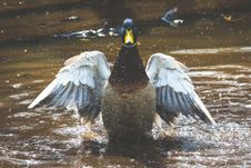 Free Photo Of Brown And Grey Duck On Body Of Water Royalty Free Stock Photos - 114892498