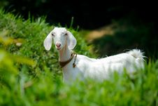 Free White Goat In Grass Field Stock Photography - 114892502