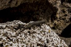 Free Close-Up Photography Of Lizard On Stone Stock Image - 114892521