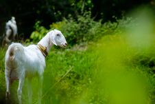 Free White Goat In Grass Field Stock Image - 114892581