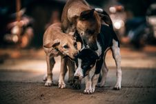 Free Three Dogs Playing On Gray Concrete Pavement In Selective Focus Photography Stock Photography - 114892602