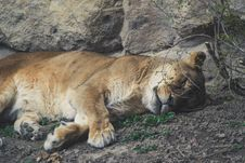 Free Lioness Lying On Grey Dirt Near Grey Rock Royalty Free Stock Photos - 114892648