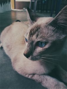 Free Siamese Cat Lying On The Floor Photo Royalty Free Stock Photography - 114892667