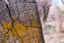 Free Gray Tree Stump With Yellow Moss Royalty Free Stock Images - 114892669