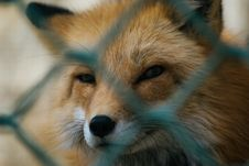 Free Shallow Focus Of Red Fox Stock Photo - 114892710