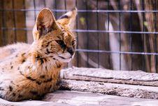 Free Bengal Cat Royalty Free Stock Photo - 114892715
