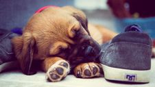 Free Short-coated Brown Puppy Sleeping Beside Grey Dc Skate Shoe Stock Photos - 114943933