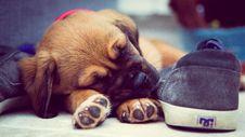 Free Short-coated Brown Puppy Sleeping Beside Grey Dc Skate Shoe Stock Photos - 114943933