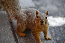 Free Close Up Photo Of Brown Squirrel Stock Photos - 114943953