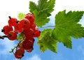 Free Redcurrants 2 Stock Photo - 1152490