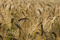 Free Oats In Morning Dew Royalty Free Stock Photo - 1152505