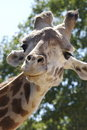 Free Giraffe Stock Photography - 1157082