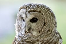 Free Barred Owl Royalty Free Stock Photo - 1150025