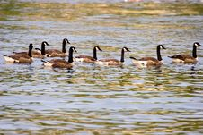 Free Canada Geese_6354-1 Royalty Free Stock Images - 1151019