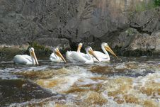 Free White Pelicans Stock Image - 1151921