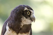 Free Spectacled Owl Royalty Free Stock Images - 1151969