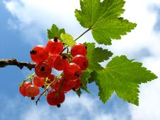 Free Redcurrants 3 Stock Photography - 1152492