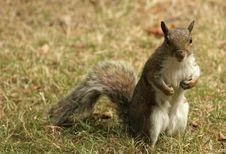 Free Grey Cheeky Squirrel Royalty Free Stock Photo - 1152655
