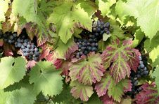 Free Grapes Stock Images - 1153164