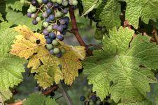Free Grapes Stock Photo - 1153220