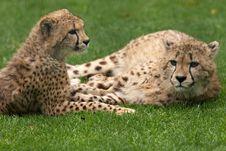 Free Cheetah Twins Royalty Free Stock Photos - 1153808