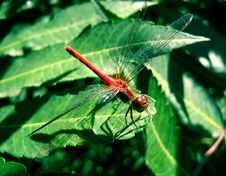 Free Dragonfly Stock Images - 1154074