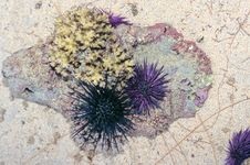 Free Sea Urchins Royalty Free Stock Images - 1154539
