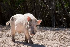 Free Boar Stock Images - 1154584